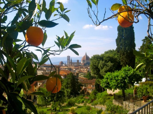 downtown florence through an orange tree in the rose garden