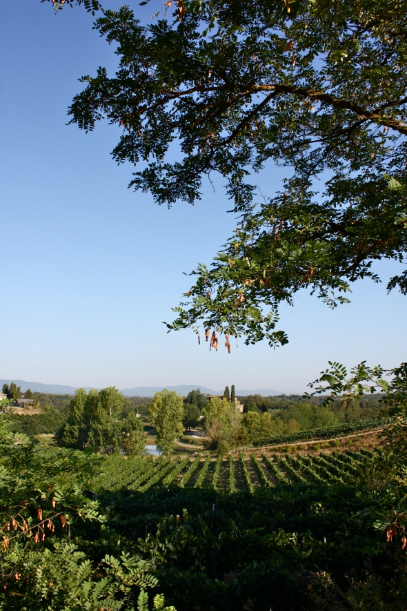 Vineyards in the Valdarno countryside