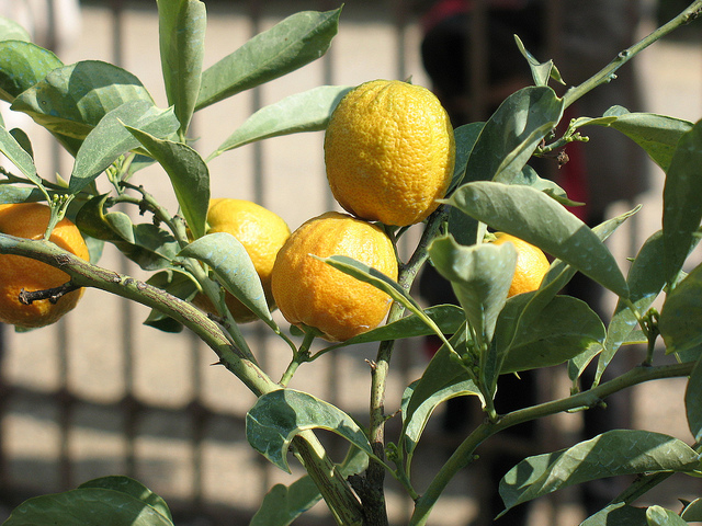 Lemons in Boboli by mojosmom