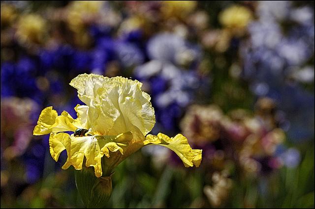 Giardino dell'iris a Firenze by Piero Farolfi
